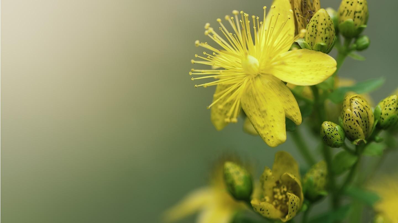 Das Johanniskraut mit seiner schönen sonnengelben Blüte sorgt für Wege aus dem Stimmungstief.