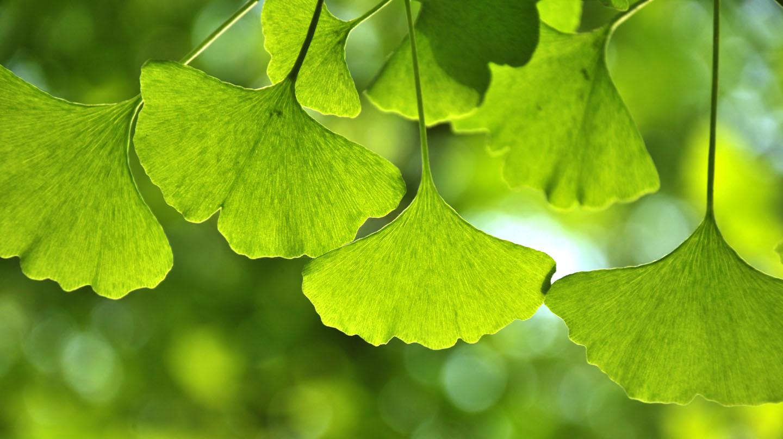 Gedächtnis trainieren: Grüne Ginkgoblätter.