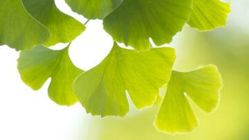 Ginkgo – gut für Gehirn und Gehör